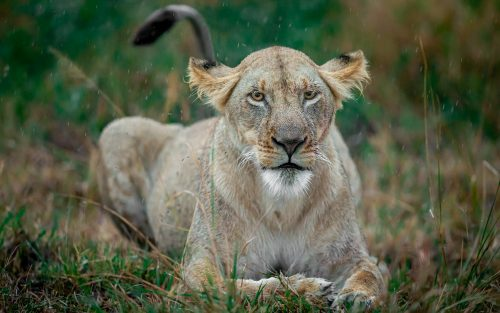 This lioness looks none too pleased