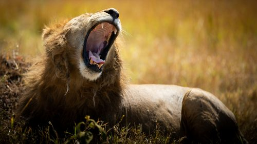 This young male lion is not an early bird