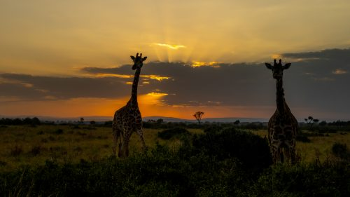 Giraffes silhouetted by the golden sunrise