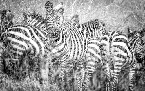 Lines on lines –– the tall grasses obscure this zebra herd