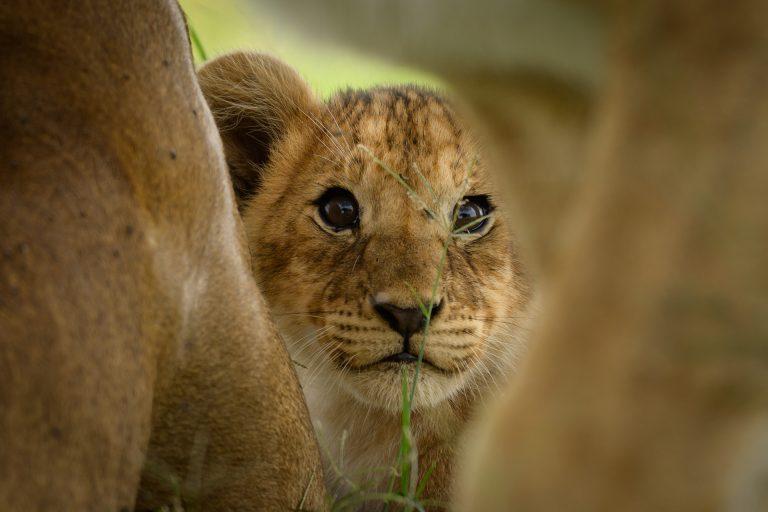 Lion cub Maasai Mara kenya