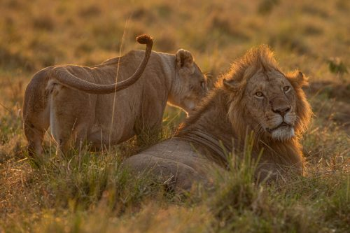 A yet to be identified male seen mating with an Owino lioness
