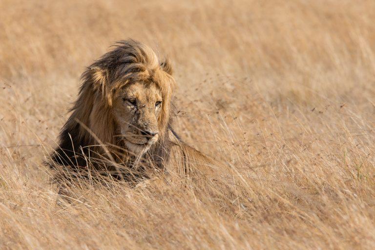 Male lion in long grass Maasai MAra Kenya