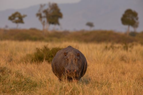 Never mention the size of a hippo's waistline... This male must have spent the night feeding on far away grasses and was rather late in making his way back to the Mara River