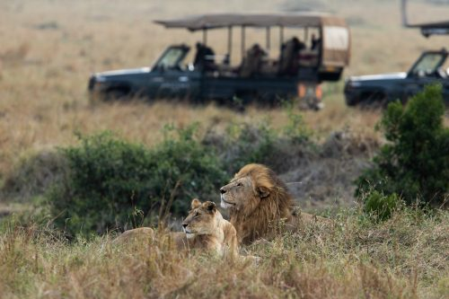 Angama vehicles enjoy a sighting of the Lamai newcomer and his current partner