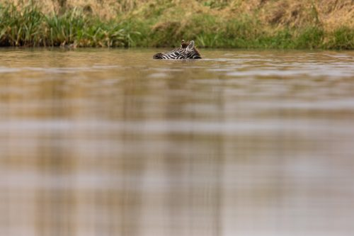 A zebra foal ventures deep into a watering hole to cool off from the scorching midday sun