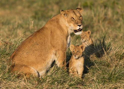 A lioness from the Serengeti came across with her four cubs