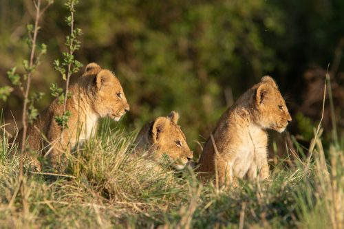 Three of the four delightful new cubs in the Mara