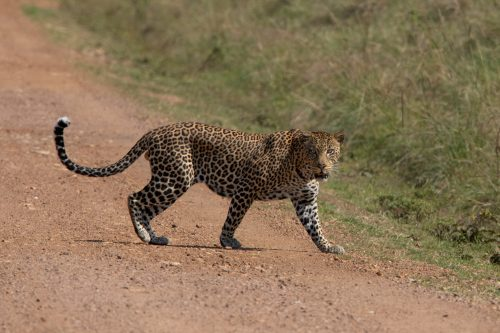 A young male leopard crosses the road tentatively in front of us