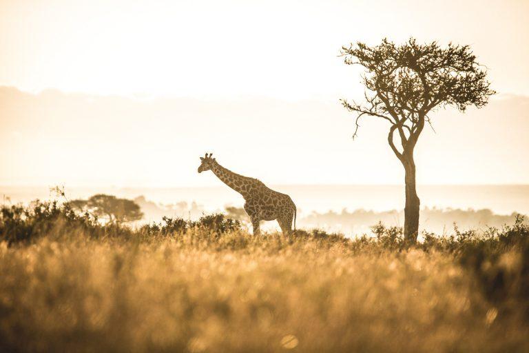 Giraffe at Sunrise in the Mara Triangle Game Reserve