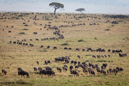 The migration herds continue to draw lines across the landscape