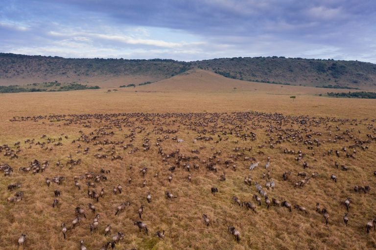 Migratory herds in the Maasai Mara kenya