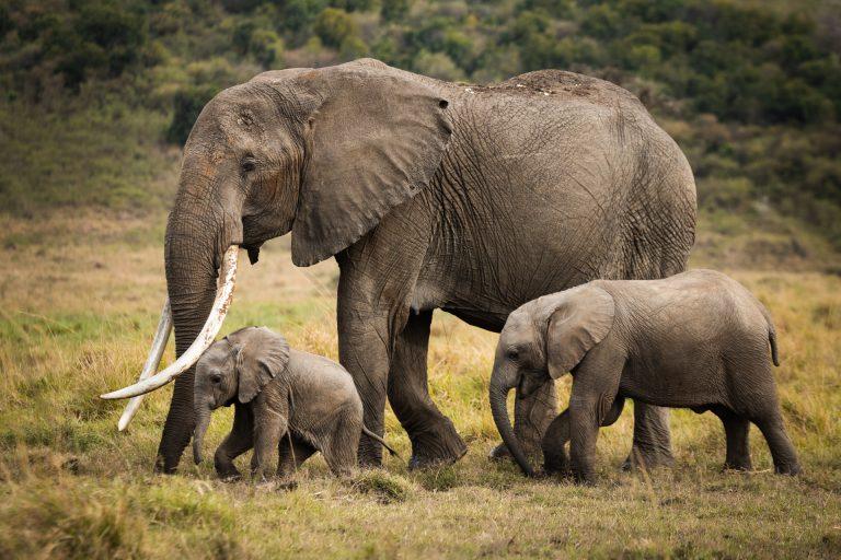 Elephant family Kenya Game Reserve Masai Mara