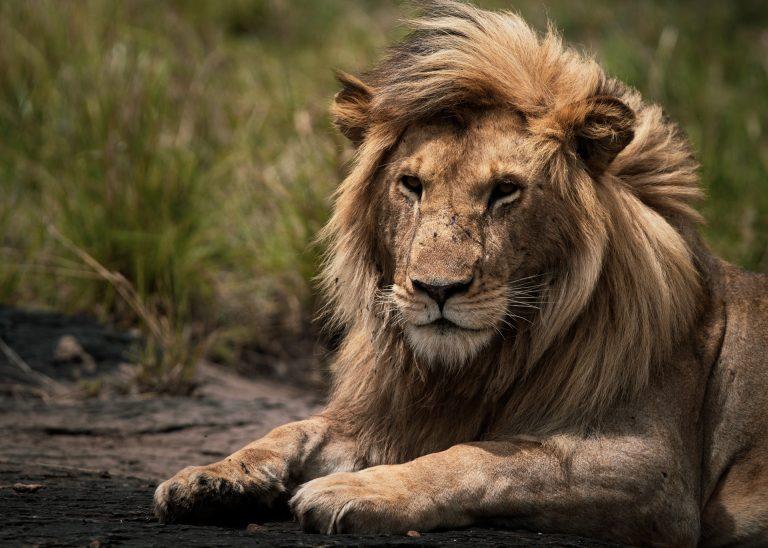 Male lion stares Maasai Mara Kenya