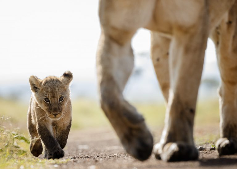 Lion cub walks with mother in the Maasai MAra Kenya