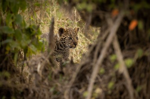 The Maji Ma Chafu female leopard has given birth to a beautiful pair of cubs