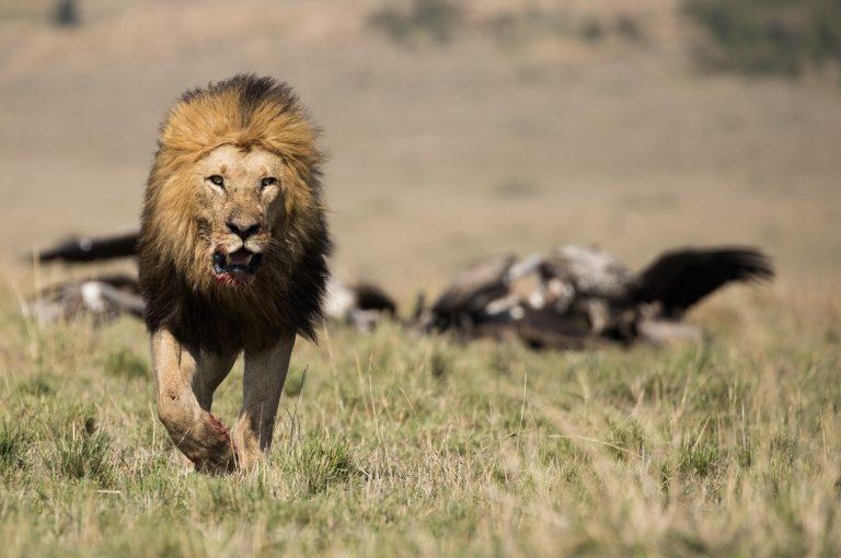 Male lion running from kill in the Maasai Mara