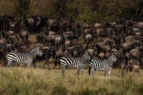 The zebra seem to arrive with more energy and direction than the wildebeest, and it is not uncommon for them to dive straight in and for the wildebeest to follow suit
