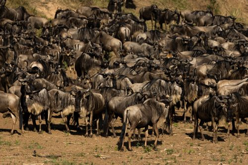 We waited four hours for a crossing to happen at this site, but with close to 50 hungry crocodiles lurking in the depths, the wildebeest understandably decided against it