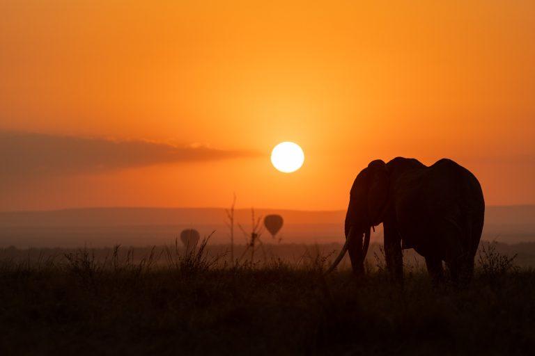 Elephant and hot air balloons at sunrise in the Masai Mara