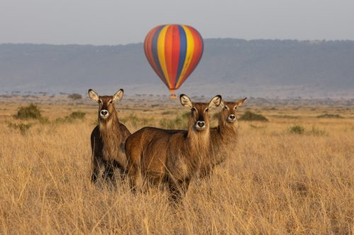 The bright balloons have become somewhat of an institution in the Mara and can provide a flash of colour and romance to any photograph