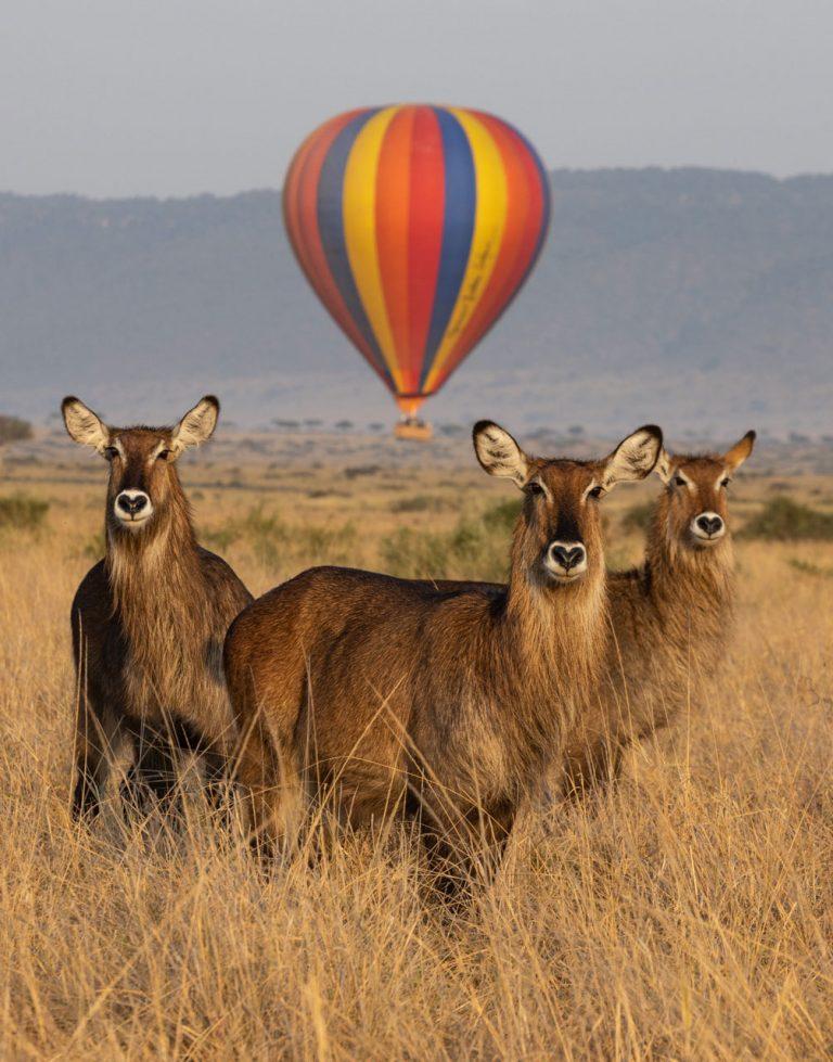 Waterbuck with hot air balloon Maasai Mara