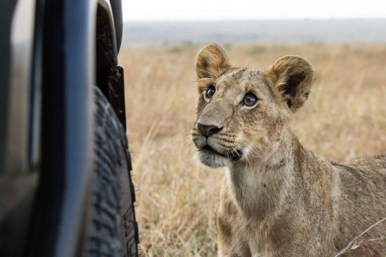 Lion cub stares at vehicle Mara Triangle Kenya