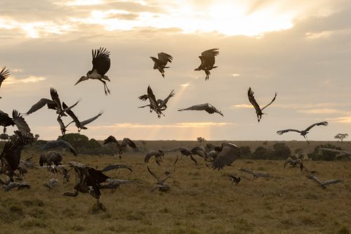 The aerial scavengers thrive in the Mara at this time of the year