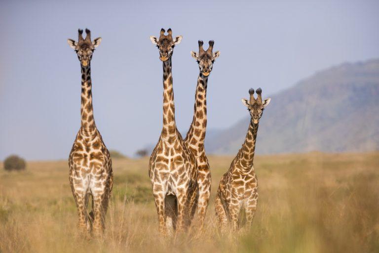 A tower of Giraffe in the Masai Mara