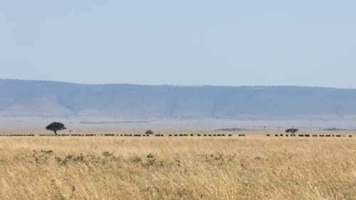 Though all over the place, the wildebeest are generally moving towards Tanzania