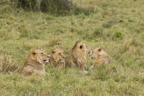 Four of the six Sausage Pride sub-adult males which now lead a nomadic life