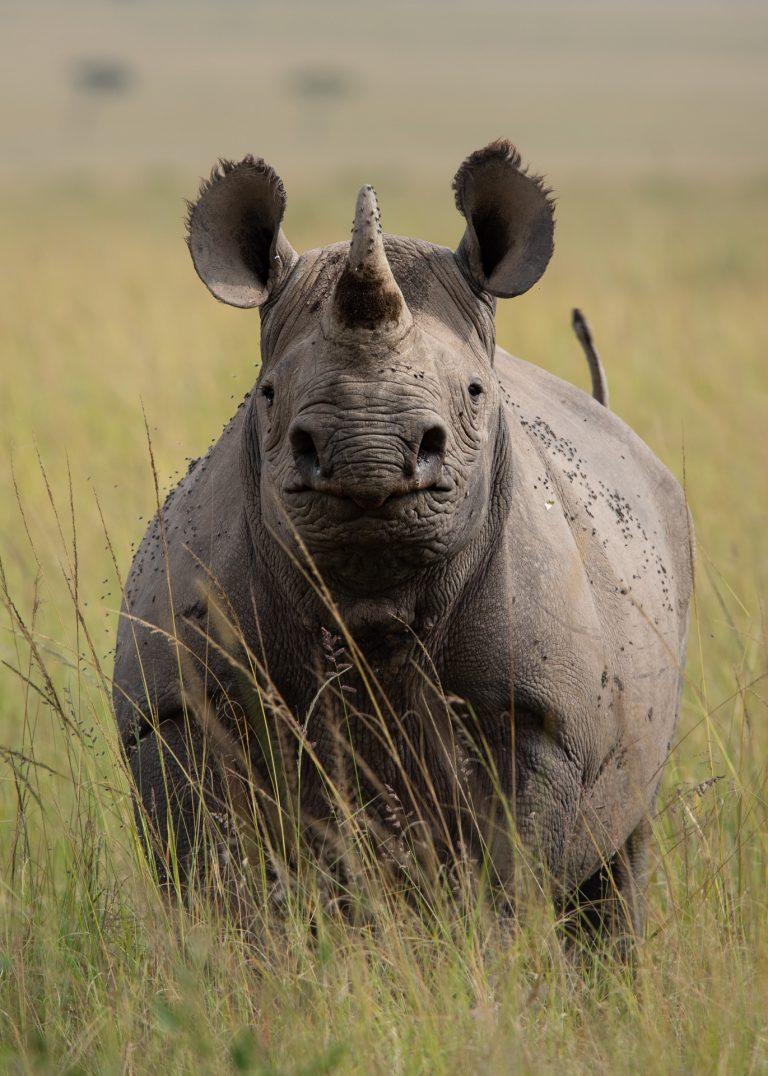 Rhino Maasai Mara Kenya