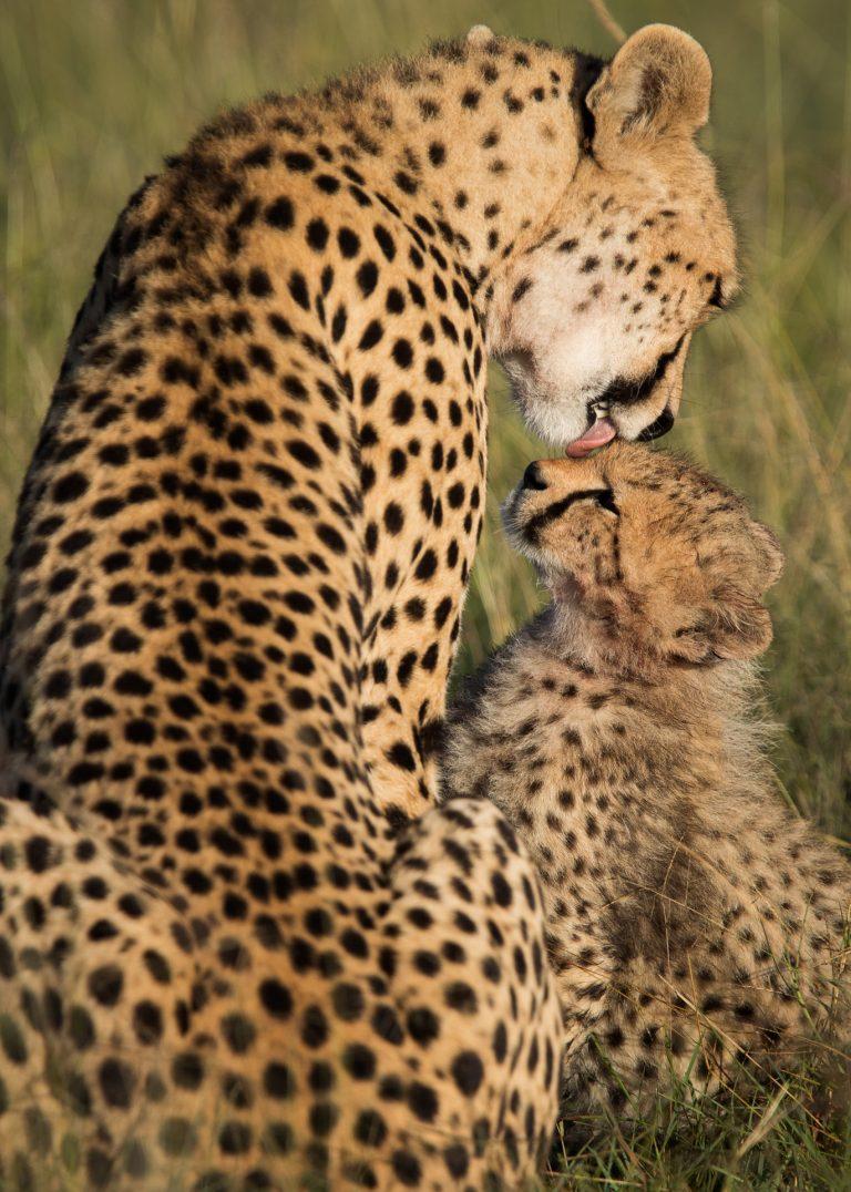 Cheetah with Cub in the MAasai MAra Kenya