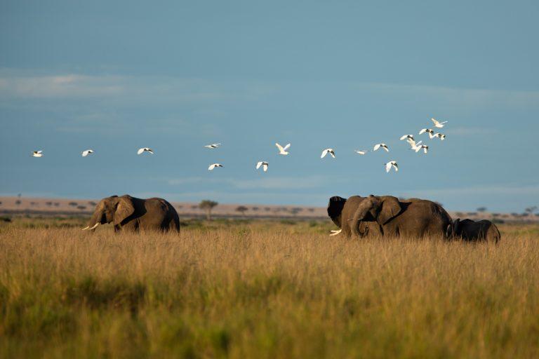Elephant herd with egrets in the Maasai Mara Kenya