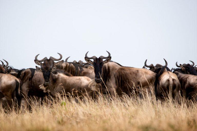Wildebeest migrating during the great migration Kenya