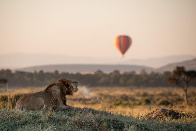 Male lion roaring in the MAasai Mara with hot air balloon