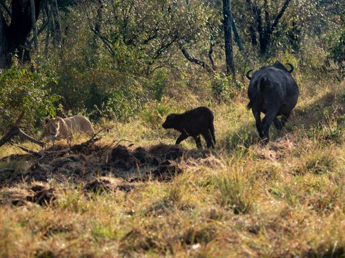 This buffalo calf has a close call with a lioness