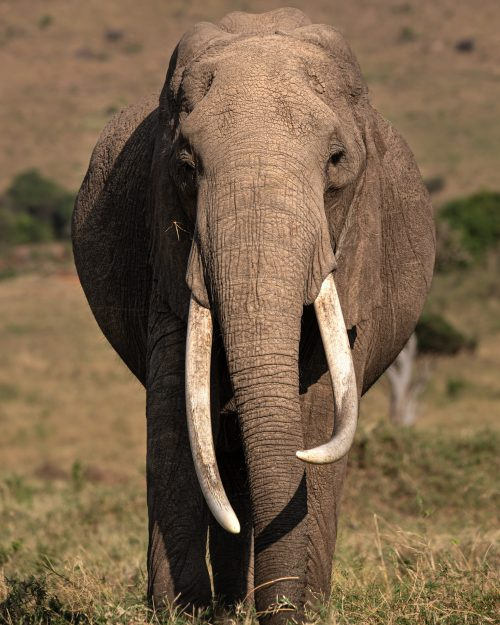 Her tusks compare with some of those in Amboseli