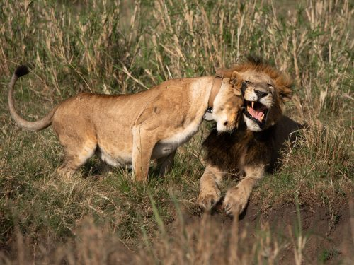 Mama Kali puts her moves on Koshoke from the Bila Shaka coalition