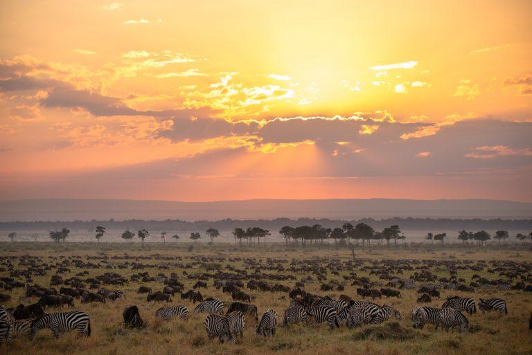 Great migration herds in Maasai Mara Kenya