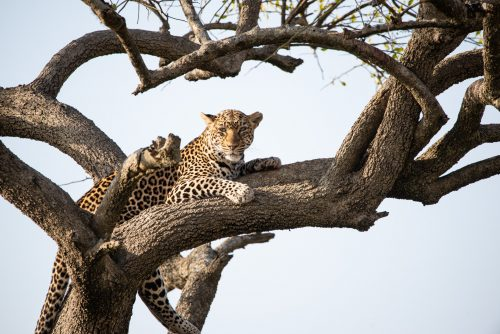 Above: A relaxed leopard in the Mara is a photographer's dream
