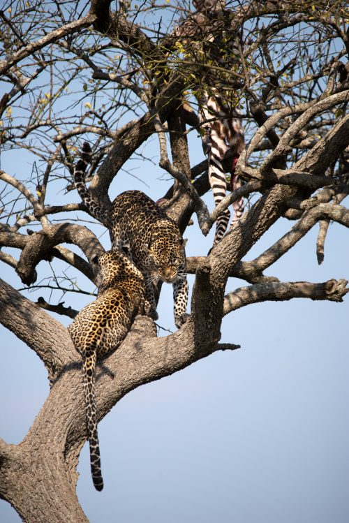 2 leopards and a kill, all in a tree, make this sighting off the charts