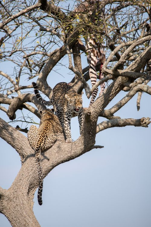 Spots and stripes in the branches of a dessert date tree