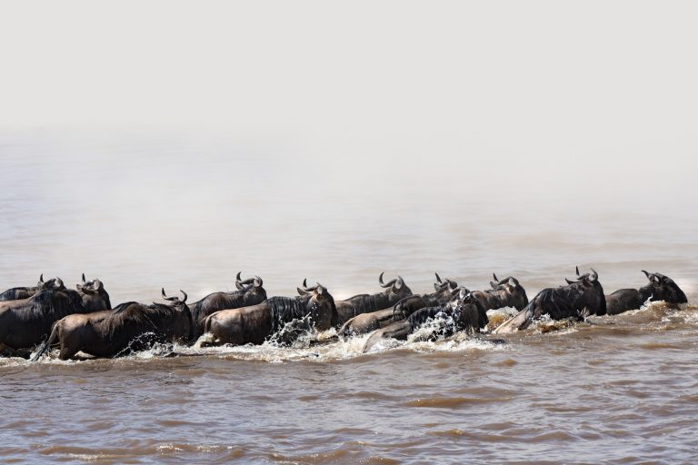 wildebeest crossing the Mara River in the Maasai Mara