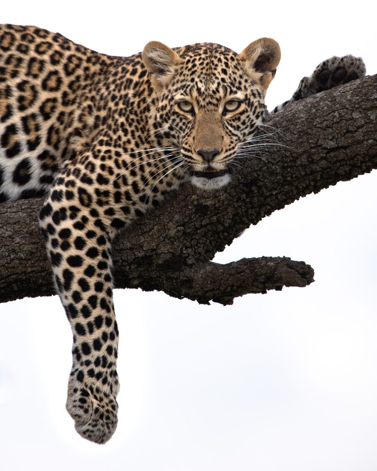 Leopard in tree in the Maasai Mara Kenya