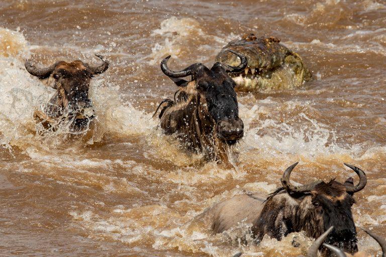 Wildebeest crossing Maasai Mara