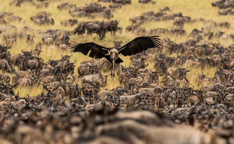 Graham Wood captures the migratory herd with vulture