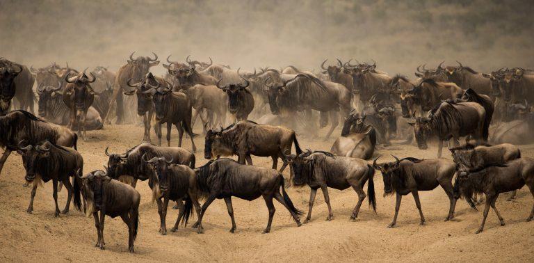 Wildebeest great migration Kenya Maasai Mara
