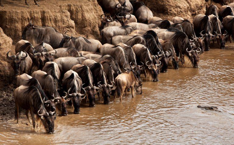Wildebeest crossing the Mara River great migration