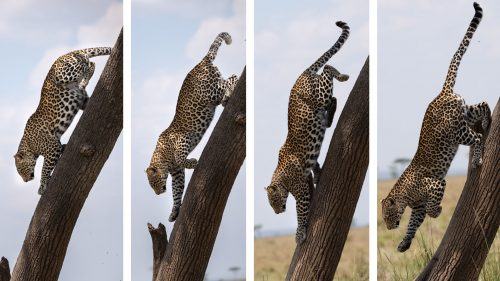 Climbing up and down near-vertical surfaces mean nothing to these cats